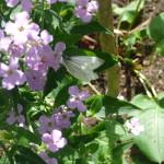 Trädgårdsnattviol (Hesperis matronalis). Foto: Ingrid Norudde.