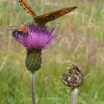 Brudborste (Cirsium helenioides). Foto: Ingrid Norudde.