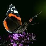 Fjärilsbuske eller syrenbuddleja