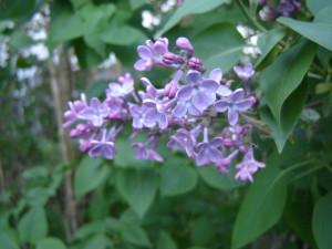 Syrén (Syringa vulgaris). Foto: Christer Persson.