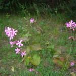 Tjärblomster (Lychnis viscaria eller Viscaria vulgaris). Foto: Christer Persson.