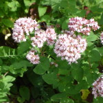 Kungsmynta (Origanum vulgare).