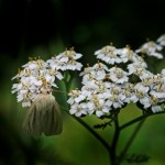 Röllika (Achillea millefolium). Foto: Uno Milberg.