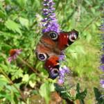 Strandveronika (Veronica longifolia). Foto: Ingrid Norudde.