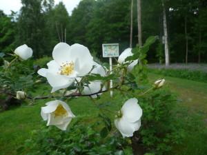 Doftande gammaldags ros