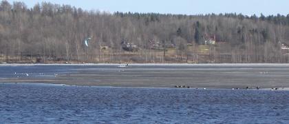 Fåglar på iskanten och kitesurfare i bakgrunden 2013-04-17. Foto: Christer Persson